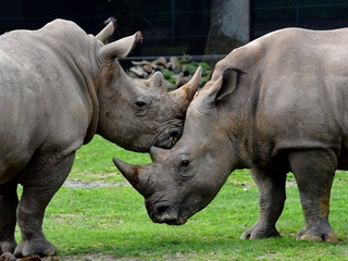 In France, poachers killed a rhino for its horns