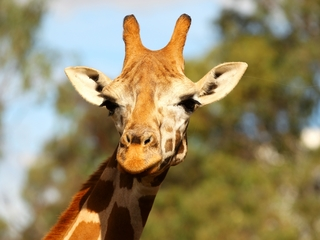 Groups want giraffe added to US endangered list