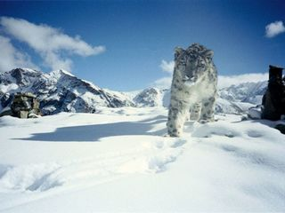 Experts determine 3 subspecies of snow leopard