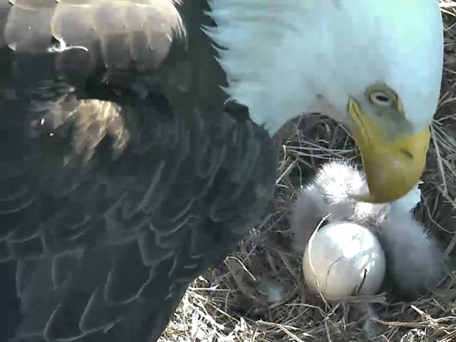 The Home Of The Brave Just Got 2 More Bald Eagles - Newsy Story