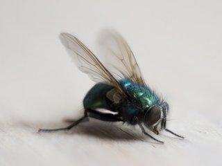 Flies carry hundreds of species of bacteria